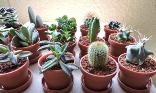 ¿Cómo elegir una maceta para cactus?